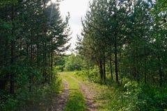 Día de verano en un paisaje del bosque del pino Fotos de archivo
