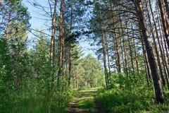 Día de verano en un paisaje del bosque del pino Imagen de archivo libre de regalías