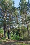 Día de verano en un paisaje del bosque del pino Foto de archivo libre de regalías