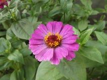 Día de verano de la lila de la flor imagen de archivo