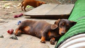 Día del jardín del verano del perro basset metrajes