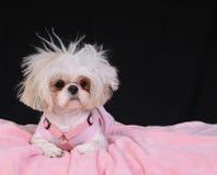 Día del pelo del perro de Shih Tzu mán Foto de archivo