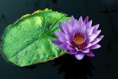 Día-floreciente tropical waterlily imagen de archivo libre de regalías