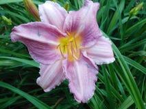 Día lilly Imagen de archivo libre de regalías