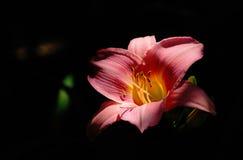Día-Lirio anaranjado Fotografía de archivo