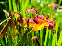 Día-lirio del brote de flores. Imagen de archivo