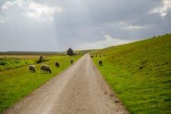 Día nublado en un prado holandés con la multitud de ovejas, Pieterburen, H Imagen de archivo