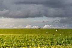 Día nublado en un prado holandés con la multitud de ovejas, Pieterburen, H Fotos de archivo