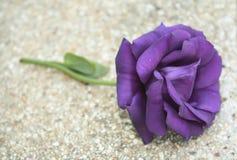Día púrpura del ` s de Rose Valentine Fotografía de archivo