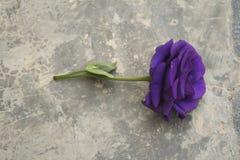 Día púrpura del ` s de Rose Valentine Imágenes de archivo libres de regalías