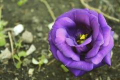 Día púrpura del ` s de Rose Valentine Imagen de archivo