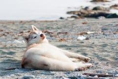 Día perezoso en la orilla del mar de Ojotsk Retrato del husky siberiano de mentira que mira la cámara imagen de archivo