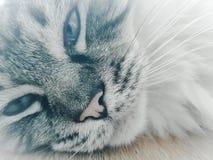 Día que sueña el gato de Ragdoll Foto de archivo