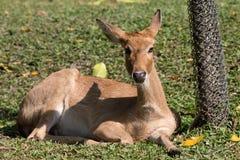 Día relajante de los ciervos de Eld Fotos de archivo libres de regalías
