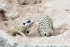 Día relajante de Meerkat Foto de archivo libre de regalías