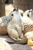 Día relajante de Meerkat Fotografía de archivo