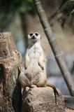 Día relajante de Meerkat Fotos de archivo libres de regalías