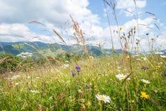 Día soleado asombroso en montañas Prado del verano con los wildflowers Fotografía de archivo