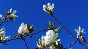 Día soleado de la primavera, flores de la magnolia metrajes