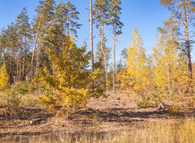 Día soleado del otoño en un bosque del pino Imagenes de archivo