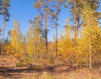 Día soleado del otoño en un bosque del pino Fotografía de archivo
