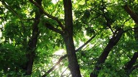 Día soleado en el bosque, árboles verdes del verano almacen de metraje de vídeo