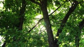 Día soleado en el bosque, árboles verdes, luz del verano almacen de metraje de vídeo
