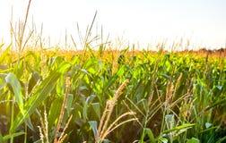 Día soleado en el campo de maíz verde que crece Imagen de archivo libre de regalías