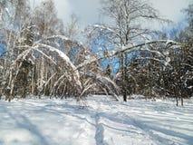 Día soleado escarchado en el campo nevoso Los troncos finos de árboles jovenes están doblados debajo de la cubierta abundante de  Fotografía de archivo libre de regalías