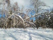 Día soleado escarchado en el campo nevoso Los troncos finos de árboles jovenes están doblados debajo de la cubierta abundante de  Fotos de archivo