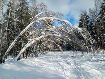 Día soleado escarchado en el campo nevoso Los troncos finos de árboles jovenes están doblados debajo de la cubierta abundante de  Imagen de archivo