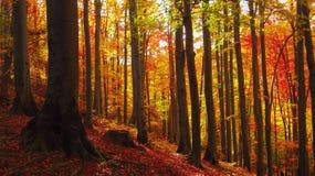 Día soleado hermoso en el bosque de oro del otoño fotos de archivo libres de regalías