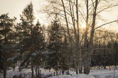 Día soleado nevado de los árboles en parque del invierno Fotografía de archivo