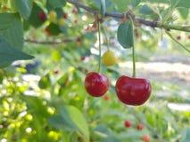 Día soleado verde del árbol del rojo cereza Fotos de archivo