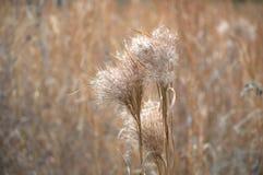 Días coloreados trigo Fotografía de archivo