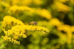 Díptero en las flores amarillas Foto de archivo