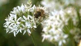 Díptero Syrphidae de la mosca almacen de metraje de vídeo