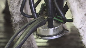 Dój maszyna jest dekantuje mleko od udder krowy zakończenie up zbiory wideo