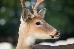 dólar Blanco-atado de los ciervos Foto de archivo libre de regalías