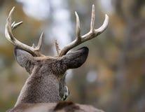 dólar Blanco-atado de los ciervos Fotografía de archivo