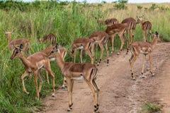 Dólar Calfs del impala imagen de archivo libre de regalías