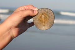 Dólar de areia Imagens de Stock