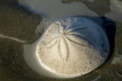 Dólar de areia Foto de Stock Royalty Free