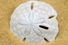 Dólar de arena Imagen de archivo libre de regalías