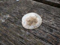 Dólar de arena en la tabla de madera foto de archivo