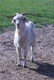 Dólar de la cabra Fotografía de archivo