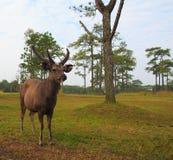 dólar de los ciervos fotografía de archivo libre de regalías