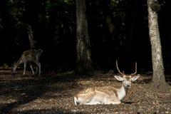 Dólar de los ciervos de la cola blanca Imagen de archivo libre de regalías