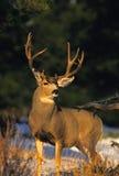 Dólar de los ciervos de mula Fotos de archivo