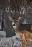 Dólar de los ciervos de Whitetail Imagenes de archivo